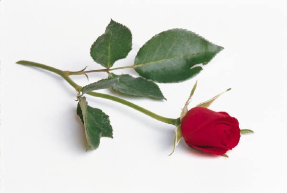 A SINGLE RED ROSE!