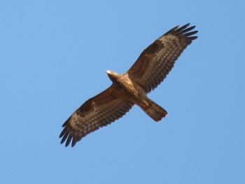 HONEY BUZZARD 1