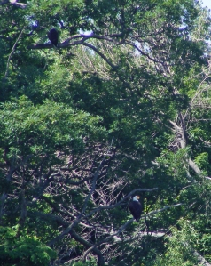 BALD EAGLES.NOT THE BEST PIC