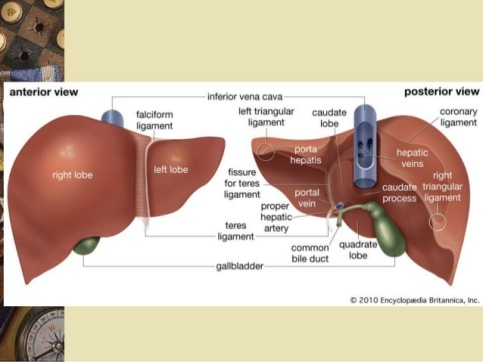 liver-anatomy-history-lobes-segments-by-armata-manus-9-638